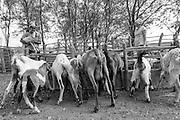 Palavras-chave: Comunidade &Aacute;gua Branca, Santa Cruz, Pernambuco, Sert&atilde;o do Araripe, imagens humanas, sert&atilde;o, Araripe, seca, nordeste, brasil, agricultor rural, agricultura familiar, semi&aacute;rido, cisterna, agricultura, rural, pequeno produtor, produtor rural, bioma caatinga, sertanejo, sert&atilde;o, semi&aacute;rido, agroecologia, ong caatinga,  <br /> <br /> Comunidade &Aacute;gua Branca <br /> A comunidade &Aacute;gua Branca fica na cidade de Santa Cruz, no Sert&atilde;o do Araripe em Pernambuco &ndash; 800 km de Recife. Cerca de 27 fam&iacute;lias vivem l&aacute;. Faz seis anos que a regi&atilde;o enfrenta um per&iacute;odo de seca. O &uacute;ltima seca foi nos anos 90. Seu Chico Peba e a sua fam&iacute;lia convivem com o semi&aacute;rido e com as secas peri&oacute;dicas poupando &aacute;gua e aplicando t&eacute;cnicas e ferramentas que vem desenvolvendo com organiza&ccedil;&otilde;es parceiras, a principal delas neste momento &eacute; a organiza&ccedil;&atilde;o CAATINGA que junto com ele e outras fam&iacute;lias da comunidade aplica o Sistema de Quintal Produtivo - que inclui todas essas t&eacute;cnicas. Seu Chico comercializa algod&atilde;o org&acirc;nico plantado em sistema agroecol&oacute;gico e vende para a Europa com certifica&ccedil;&atilde;o. O grupo ainda tem que tirar o selo, mas a Associa&ccedil;&atilde;o ECOARARIPE (inclui outras 8 comunidades) &eacute; a &uacute;nica no estado de Pernambuco que produz algod&atilde;o org&acirc;nico &ndash; ainda em vias de registro. Al&eacute;m disso, seu Chico reaproveita &aacute;guas da torneira no sistema Bio&aacute;gua, tem duas cisternas para aproveitamento da &aacute;gua da chuva, viveiro de mudas.