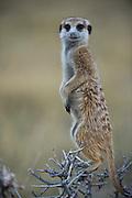 Meerkat or Suricate (Suricata suricatta) on bush 'lookout'<br /> Makgadikgadi Pans, Kalahari Desert<br /> Northeast BOTSWANA<br /> HABITAT & RANGE: Kalahari Desert in Botswana, Namib Desert of Namibia, Angola and South Africa