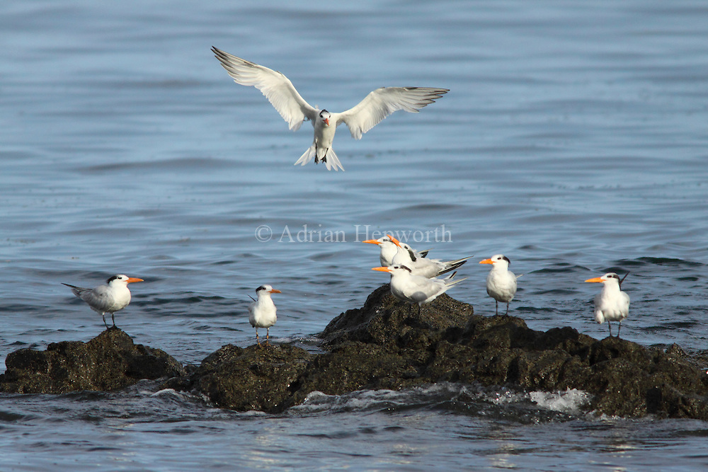 Royal Terns (Thalasseus maximus). Conchal Beach, Guanacaste, Costa Rica. <br />