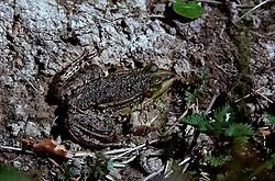 06-04-2007 NATUUR: FLORA EN FAUNA: MAARSSEN<br /> Groene kikker<br /> ©2007-WWW.FOTOHOOGENDOORN.NL