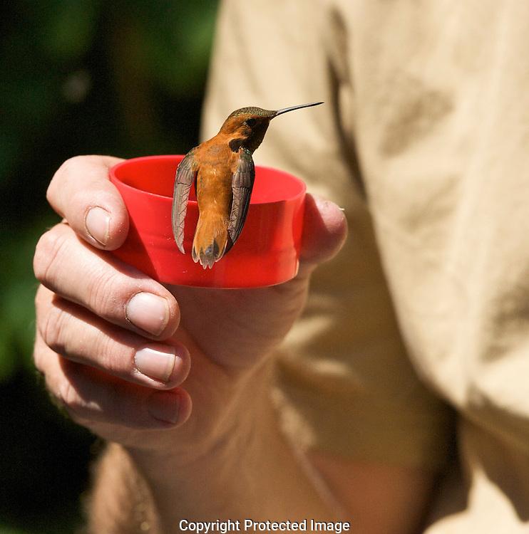 Rufous Hummingbird (Selasphorus rufus),  Courtenay,  Comox Valley,  British Columbia,  Canada,  (Photographer;  Isobel Springett),