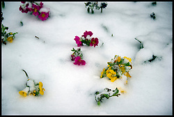 Flowers in the snow in Parliament Square, London,  Friday January 18, 2013. Photo By Andrew Parsons / i-Images
