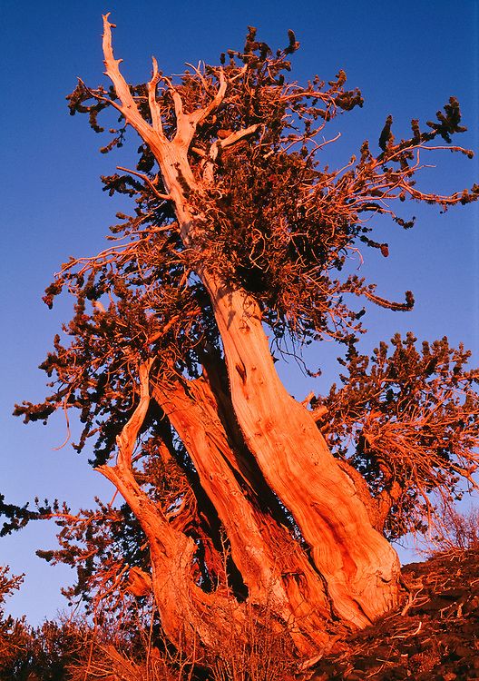 USA, Inyo National Forest (CA).Great Basin Bristlecone Pine (Pinus longaeva) at sunset: the oldest living tree on earth (>4000 yrs)