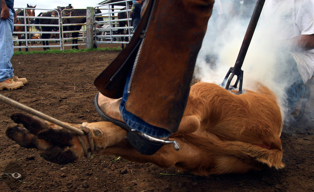 Over 100 calves are branded at the Kuahiwi Ranch in the higher country above the town of Naalehu on the southern part of the Big Island, Hawaii.