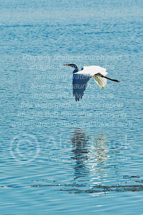 Great White Egret in Fulton County Illinois