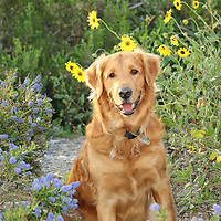 Isn't Finn the cutest Golden Retriever? The sweet dog is having fun in Newport Beach, Ca. Cute dog in a flower field walking &amp; playing with his owner. Photography by Caroline Morey &amp; Moon Morey of StudioCarolinePhoto.com/<br />