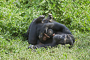 Chimpanzee<br /> Pan troglodytes<br /> Rescued infant chimp (Afrika) plays with sub-adult female chimp (Ikuru), who acts as a surrogate in the infant integration program to integrate new infants into established groups<br /> Ngamba Island Chimpanzee Sanctuary<br /> *Captive