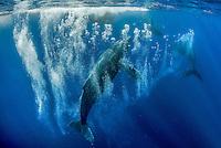 Humpback whale male (Megaptera novaeangliae) bubble blowing while a heat run. Tahiti French Polynesia