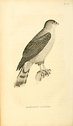 The rufous-thighed kite (Harpagus diodon) is a species of bird of prey in the family Accipitridae. It is found in Argentina, Bolivia, Brazil, Ecuador, French Guiana, Guyana, Paraguay, and Suriname from volume XIII (Aves) Part 2, of 'General Zoology or Systematic Natural History' by British naturalist George Shaw (1751-1813). Griffith, Mrs., engraver. Heath, Charles, 1785-1848, engraver. Stephens, James Francis, 1792-1853 Published in London in 1825 by G. Kearsley