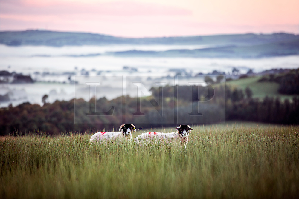 © Licensed to London News Pictures. 02/10/2016. Parshaw UK. Picture shows sheep sheltering in the long grass high above the fog covered village of Pardshaw just before this morning's sunrise. Photo credit: Andrew McCaren/LNP