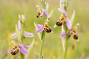 A group of Bee Orchids with multiple flowering heads on the top of the Purbeck Wares, Dorset, UK