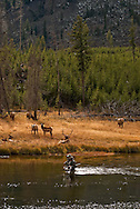 Fly Fishermen, Bull Elk with cows (Cervus canadensis), Madison River, west of Madison Junction, Yellowstone National Park