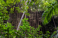 A walk through the lush jungle and limestone cliffs of Welchman Hall Gully, Barbados, green foliage and vines
