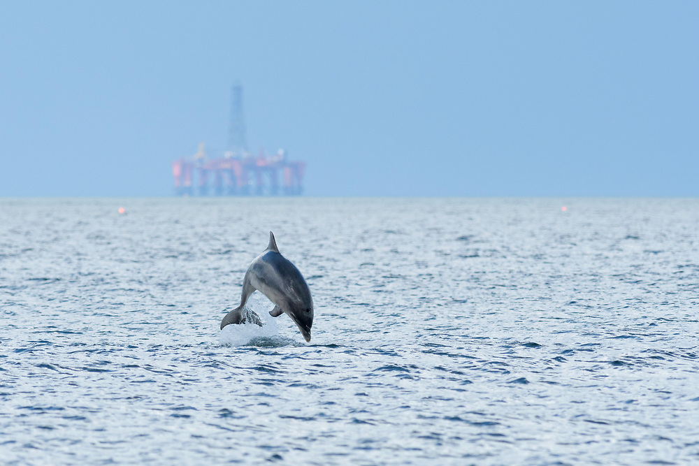 Bottlenose dolphin (Tursiops truncatus) breaching in front of oil rig.  Moray Firth, Scotland, UK.