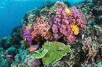 A Rainbow of Soft Corals, and Coral Grouper<br /> <br /> Shot in Indonesia