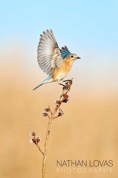 Eastern Bluebird (Sialia sialis) adult female landing;  Minnesota,