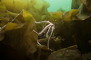 Brittlestar crawling over kelp whilst milting in Loch Fyne Scotland