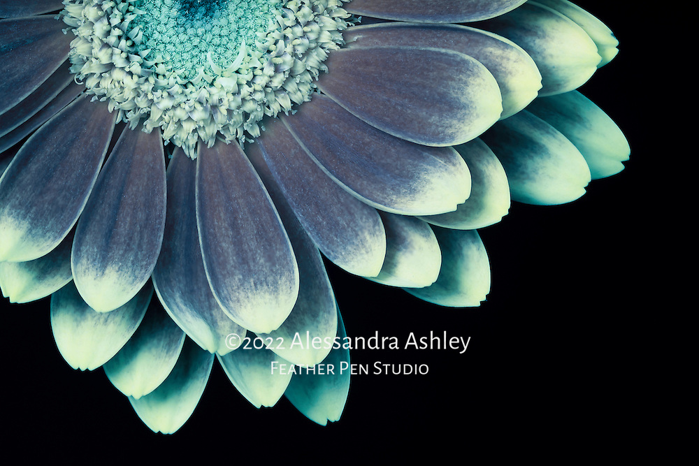 Light-tipped petals of gerbera daisy. Macro photograph rendered in cool tones with light painting as though lit by moonlight.  <br />