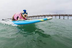 July 29, 2017 - Imperial Beach, CA, US - Surfdog returns to Imperial Beach for the twelfth  year...Derby surfing. (Credit Image: © Daren Fentiman via ZUMA Wire)