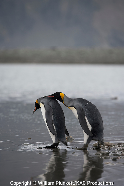 King Penguin (Aptenodytes patagonicus), Royal Bay, South Georgia Island