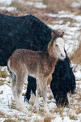 © Licensed to London News Pictures. 08/03/2018. Builth Wells, Powys, Wales, UK. A newly born Welsh Mountain Pony foal shelters behind it's mother from the cold wind and snow on the Mynydd Epynt range. More snow fell last night and early this morning on high land in Powys, Mid Wales, UK. Photo credit: Graham M. Lawrence/LNP
