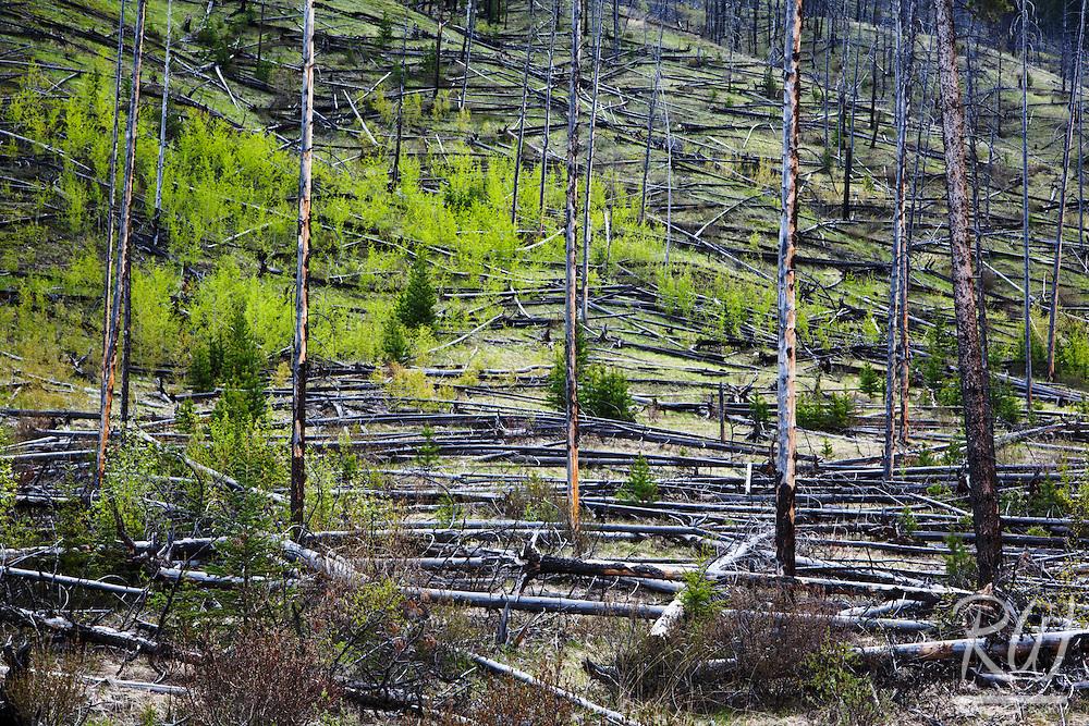 Prescribed Burn (1993) / Bow Valley Parkway, Banff National Park, Alberta, Canada