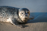 I photographed this blue gray colored super cute baby Harbor Seal in La Jolla against the blueish grey beach.  The side lighting on the sea mammal and eye contact make this photo stand out.