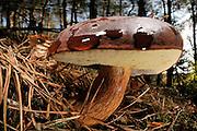 Bay Bolete (Boletus badius) | Maronen-Röhrling (Boletus badius, syn. Xerocomus badius)