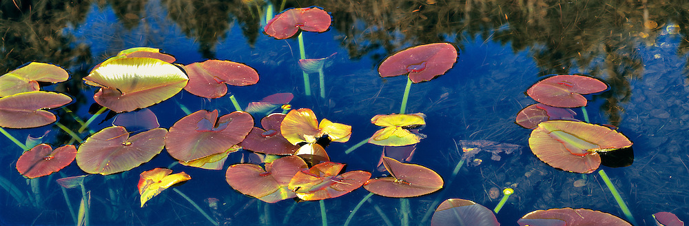 Pondlilies, also called spattrerdocks, grow in a shallow pond near Marion Forks in the Cascades Range of Oregon.