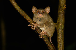 A Dian's tarsier (Tarsius dianae) sits calmly in a tree, Indonesia
