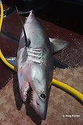 porbeagle shark, Lamna nasus, lies on deck of longline fishing boat after capture, Nova Scotia, Canada ( North Atlantic Ocean )