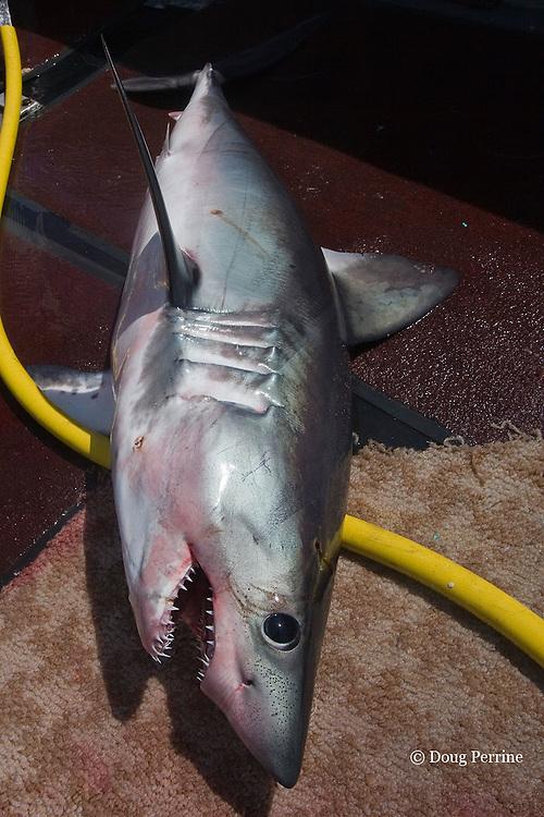 porbeagle shark, Lamna nasus, lies on deck of longline fishing boat after capture, Nova Scotia, Canada ( North Atlantic Ocean )