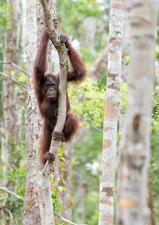 Borneo Orangutan (Pongo pygmaeus wurmbi) from Tanjung Puting National Park, Kalimantan, Indonesia