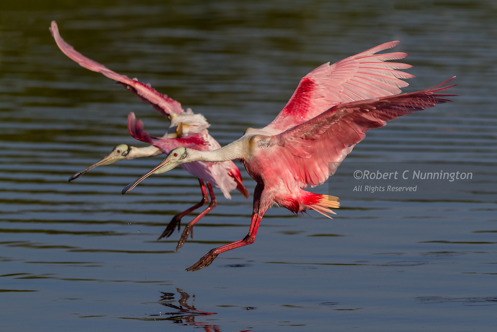 The spread wings of the Roseate spoonbills shows their striking colors as they arrive in the Everglades