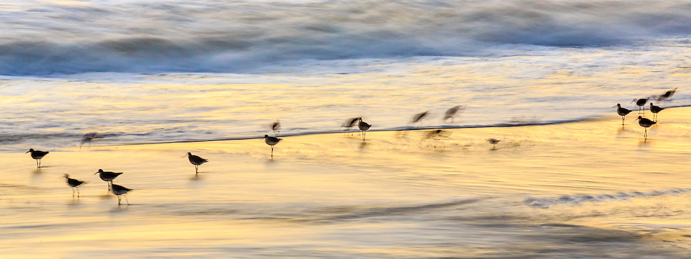 A flock of Willits photographed at slow shutter speeds on the Nag's Head beach as the sunrise reflected in the waves.
