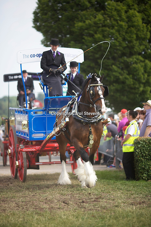 John Goodwin driving his bay gelding Shire  - the Co-operative Funeralcare Shire Horse Team South<br />