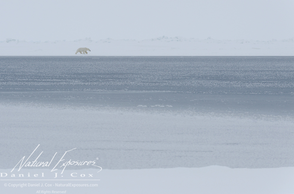 A large male polar bear skirts the edge of a lead on the trail of a female in estrus. Beaufort Sea, Alaska