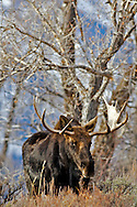 A Bull Moose strolling through the Cottonwoods in    Grand Teton Natonal Park