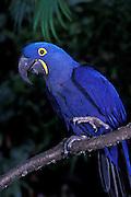 Hyacinth Macaw (Anodorhynchus hyacinthinus) portrait. Range: E Brazil - E Bolivia. Captive Portland, Oregon. October 2000