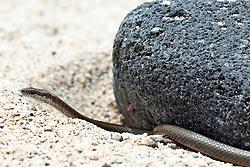 A Galapagos Snake (Alsophis dorsalis), against a lava rock and sand, Galapagos Islands National Park, North Seymour Island, Galapagos, Ecuador