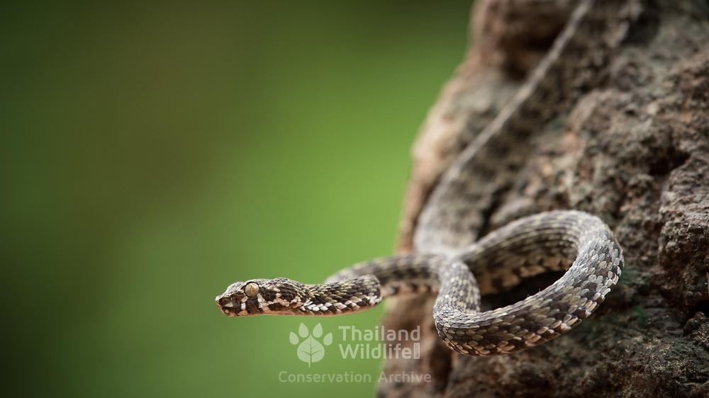 Kanburi Pit Viper (Trimeresurus kanburiensis) male in Sai Yok district, Kanchanaburi, Thailand