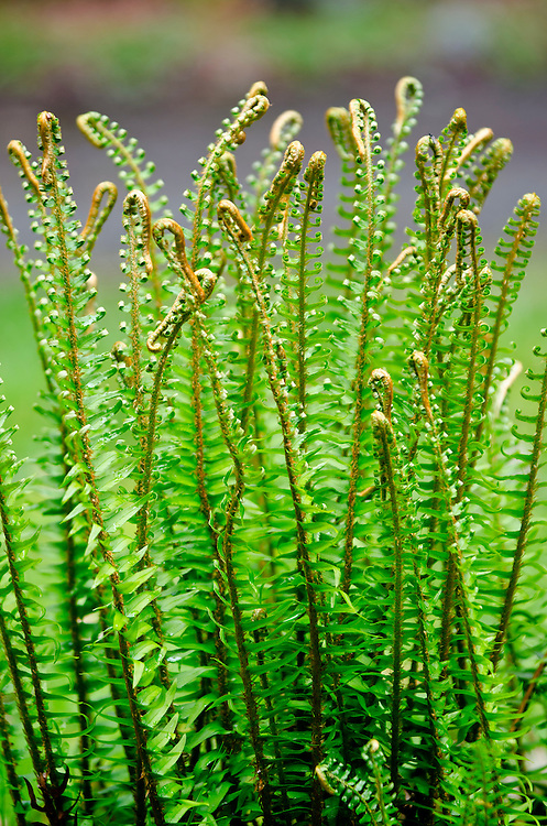 A fern is a member of a group of approximately 12,000 species of vascular plants that reproduce via spores and have neither seeds nor flowers.