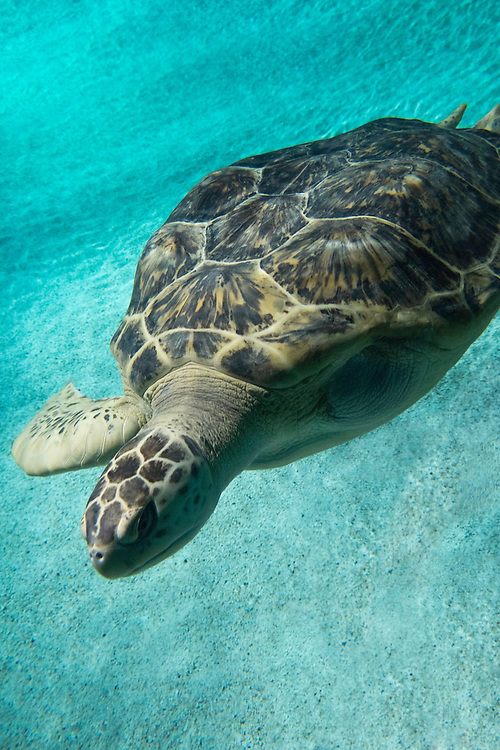 Calypso, The National Aquairum's Green Sea Turtle in Black Tip Reef | August 11, 2015