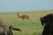 Kenya, Masai Mara, impala aepyceros melampus urinating, a herd of Wildebeest in the foreground