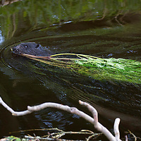 A wild Eurasian Beaver swims in the River Tay near Dunkeld in Perthshire…<br />It is estimated that some 250 wild beavers have made their home in the River Tay/River Earn catchment areas. The Eurasian beaver, Castor fiber, was hunted to extinction in Scotland 400 years ago for their fur and a galndular oil (castoreum). The beavers in Tayside have been in the area since at least 2006, and originate either from escapes or deliberate releases from private collections. Beavers are completely vegetarian. They do not eat fish but instead prefer to munch on aquatic plants, grasses and shrubs during the summer months and woody plants in winter. <br />Picture by Graeme Hart.<br />Copyright Perthshire Picture Agency<br />Tel: 01738 623350  Mobile: 07990 594431