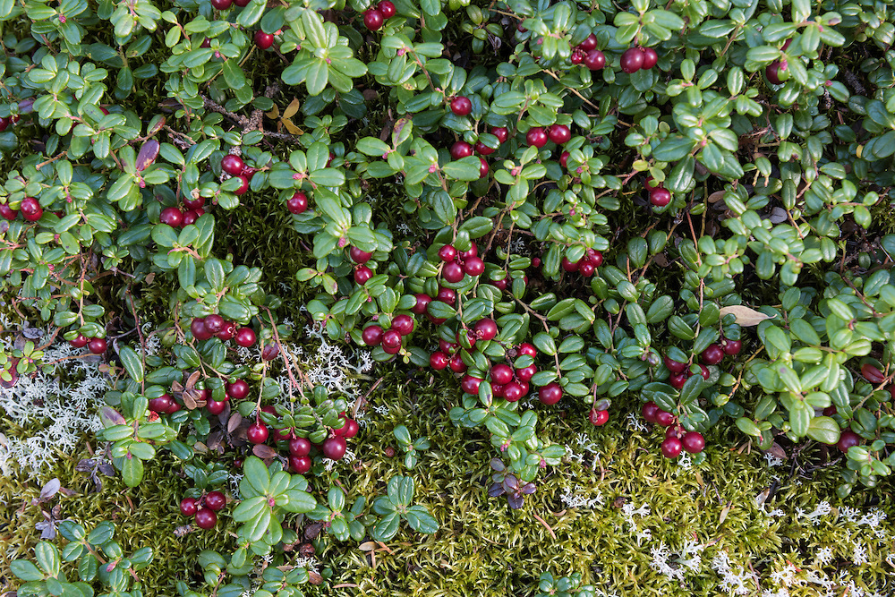 Several low-bush cranberry (Vaccinium vitas-idaea) bunches (also called mountain cranberry and lingonberry) with red berries and a lichen and moss background, summer, Denali National Park, Alaska