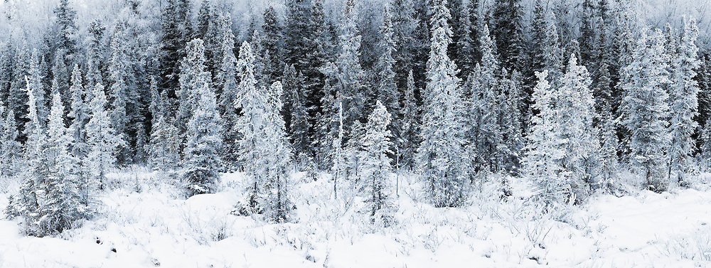 Composite panorama of hoar frost coating spruce trees in Chugach State Park, Eagle River in Southcentral Alaska. Winter. Afternoon.