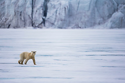 A  polar bear (Ursus maritimus) walking on the ice in front of a glacier ,Svalbard, Norway