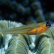 Peppermint Goby perch on coral heads in Tropical West Atlantic; picture taken Grand Cayman.
