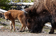 A buffalo calf stands close to mom as she grazes in a field just north of Old Faithful in Yellowstone National Park, May 18, 2005. Braley/Stock